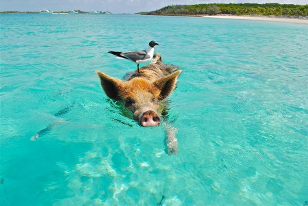 staniel-cay-swimming-pig-seagull-fish-66258.jpeg